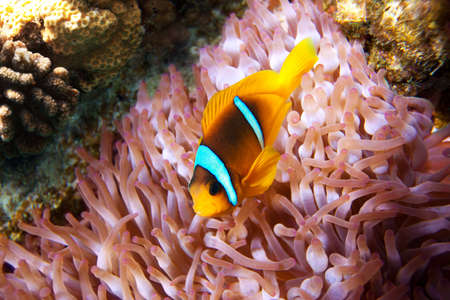 Clown fish hiding in its anemone Stock Photo - 17533022