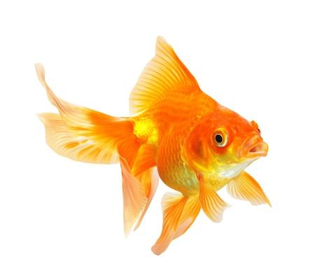 골드 물고기 흰색 배경에 고립
