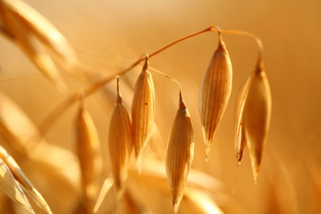 Golden ears of oat on the field  Stock Photo