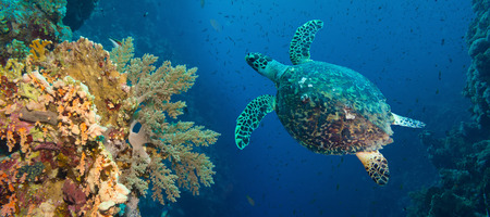 Hawksbill sea turtle  Eretmochelys imbricata  in blue water Stock Photo