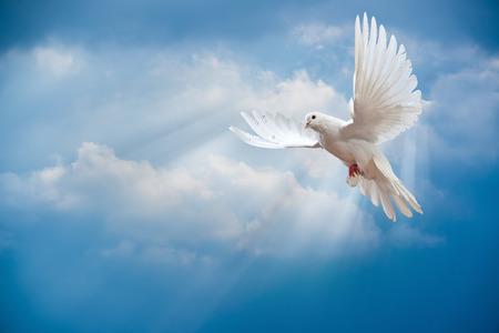 Duif in de lucht met vleugels wijd open in voor de zon  Stockfoto
