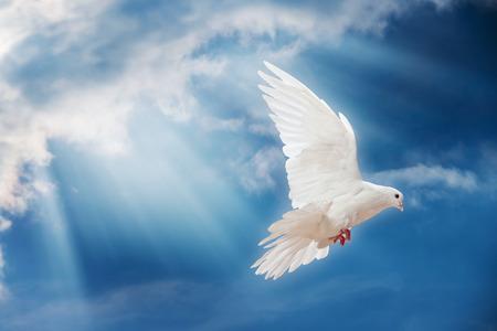 In der Luft mit Flügeln weit offen in-Vorderseite der Sonne Taube Standard-Bild