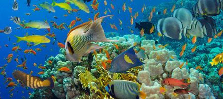 Coral and fish in the Red Sea.