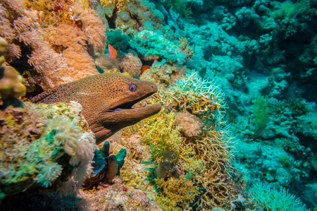 Giant Morey Eel on the Coral Reef in the Red Sea Banco de Imagens