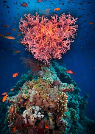 Valentine heart made of corals (Dendronephthya hemprichi) on blue water background Stock Photo