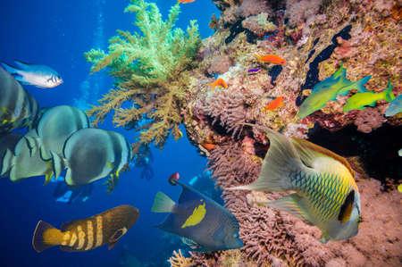 Bunte Unterwasser Offshore Felsenriff mit Korallen und Schwämmen und kleinen tropischen Fisch, der von in einem blauen Ozean