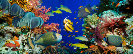 Poissons Anthias tropical avec coraux de feu nets sur la mer Rouge récif sous-marin Banque d'images - 41067726