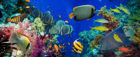 Colorful underwater offshore rocky reef with coral and sponges and small tropical fish swimming by in a blue ocean Stok Fotoğraf