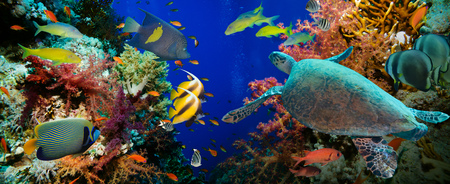 Tropical Anthias fish with net fire corals and shark on Red Sea reef underwater Archivio Fotografico
