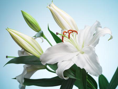 青色の背景に白いユリの花
