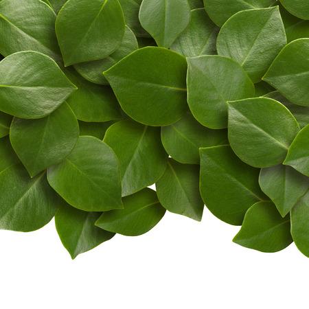 녹색 잎 배경입니다. 닫다