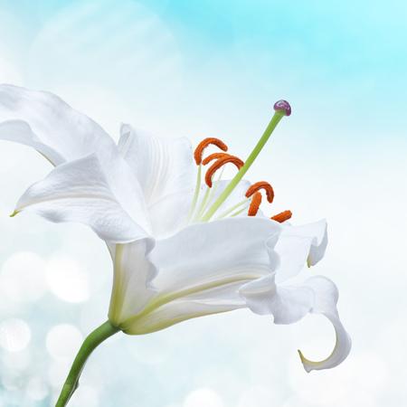 Flor de lirio blanco en fondo con efectos bokeh.