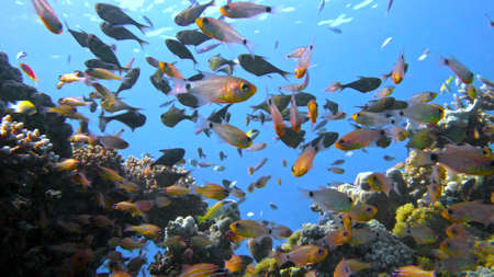 School of fishes Vanikoro Sweeper swims near coral reef in Red sea. Egypt 4K Stock fotó