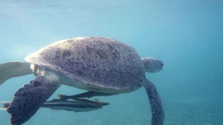 Hawksbill Sea Turtle swimming in blue water. Red Sea. Egypt