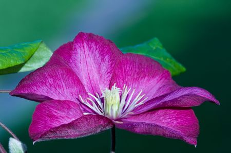 bower: clematis, virgins bower, Large flower on a green background