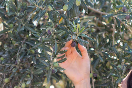 harvest the olive to eat it raw or make oil.