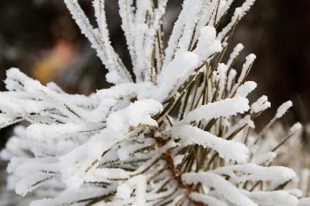 Close up white snow on the pine needles photo