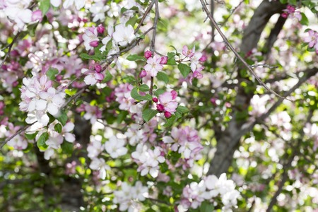 Spring colorful  amazing blooming Siberian Apple tree photo