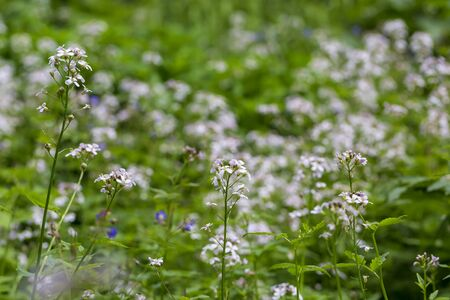 Wallpaper of small white flowers on the meadow