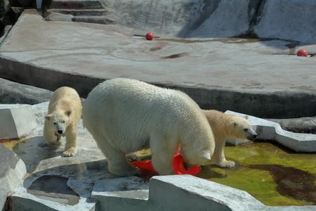 aviary: White Arctic bears in Moscow zoo aviary