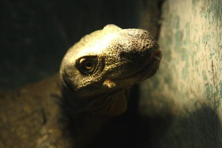reptiles: Grey lizard. Exhibition of reptiles, Moscow zoo
