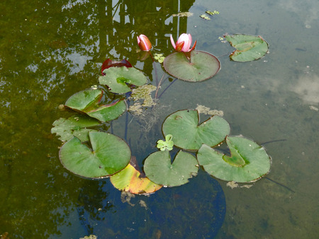 flowering plants: Flowering plants on the water surface in the reservoir