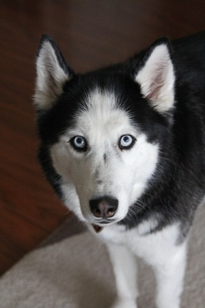 thick hair: Adult female husky with blue eyes and thick hair