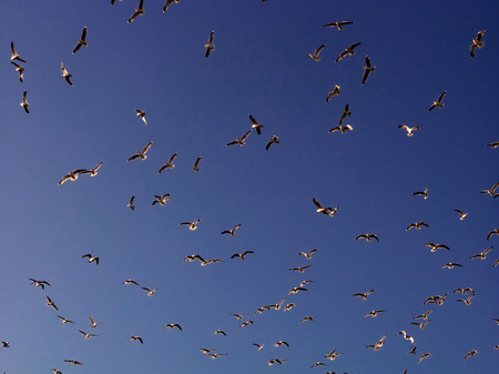 lots: Lots of hungry seagulls against a blue cloudless sky