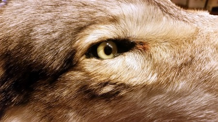 timber wolf: Open green eye of the stuffed siberian timber wolf Stock Photo