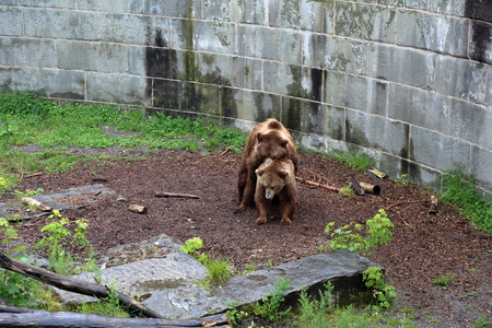 aviary: The adult male brown bear in a city zoo aviary