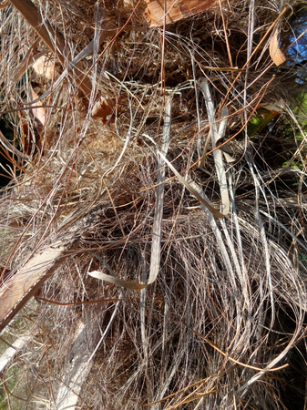 nappy: The textured surface of the nappy bark of palm tree in a jungle