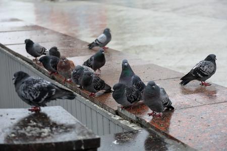 parapet: Pigeons gray color on a city marble parapet