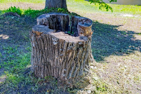 Huge wooden stump against a green lawn