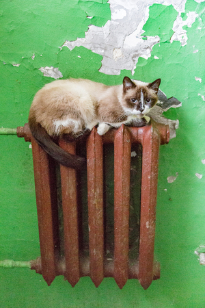 Homeless adult pussy cat with a thick coat of unusual color