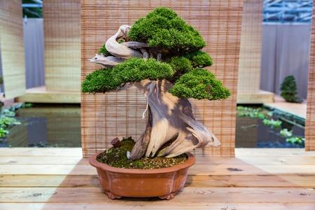 Planta en miniatura cultivada en bandeja según las tradiciones japonesas de bonsái Foto de archivo - 91375313