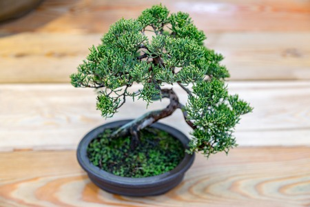 Miniature plant grown in a tray according to Japanese bonsai traditions 写真素材 - 91619557