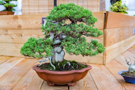 Miniatuurplant gekweekt in een schaal volgens Japanse bonsai-tradities Stockfoto