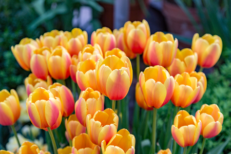 Colorful bright tulips blossom in early spring