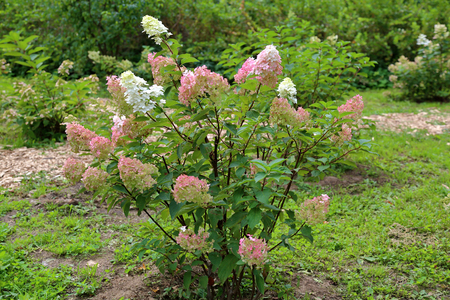 Flowering of the white and pink Hydrangea Paniculata in the city park. Tardiva grade