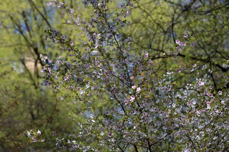 Picturesque sakura bloom. Blossoming Japanese cherry tree