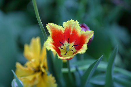 Colorful bright tulip blooms in late spring