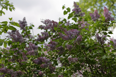 Early blooming lilac flowers in city park