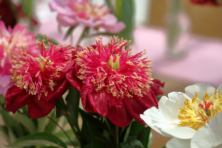 Peony. Beautiful flowering bright summer flower of the family Paeoniaceae Stockfoto