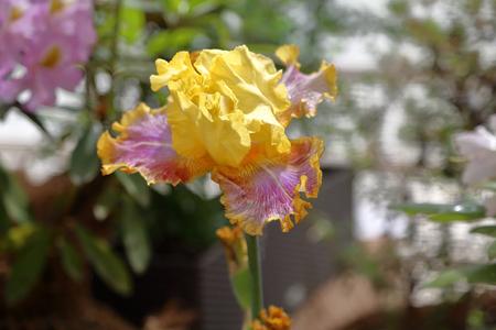 Iris. Beautiful flowering bright summer flower of the family Iridaceae Stockfoto
