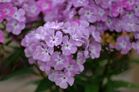 Beautiful bloom of phlox flowers from the Polemoniaceae family in seasonal blooming 写真素材