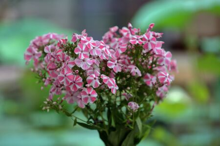 Beautiful bloom of phlox flowers from the Polemoniaceae family in seasonal blooming Фото со стока