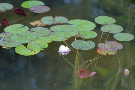 Fresh bright petals of the water lily bud at the moment of early flowering