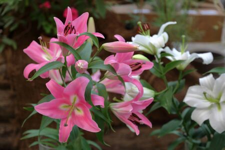 Lily. Beautiful flowering bright summer flower of the Liliaceae family Фото со стока