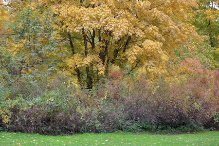Picturesque deciduous tree with yellow foliage in the autumn park Imagens