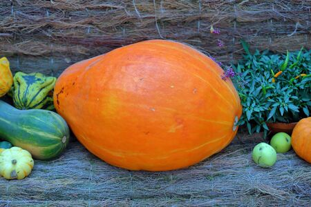 An unusual autumn pumpkin in the backyard of a farm